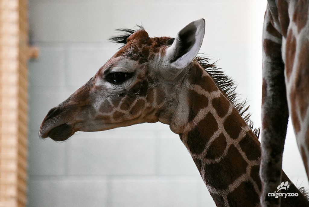 The newly born female giraffe takes a look at her new home.