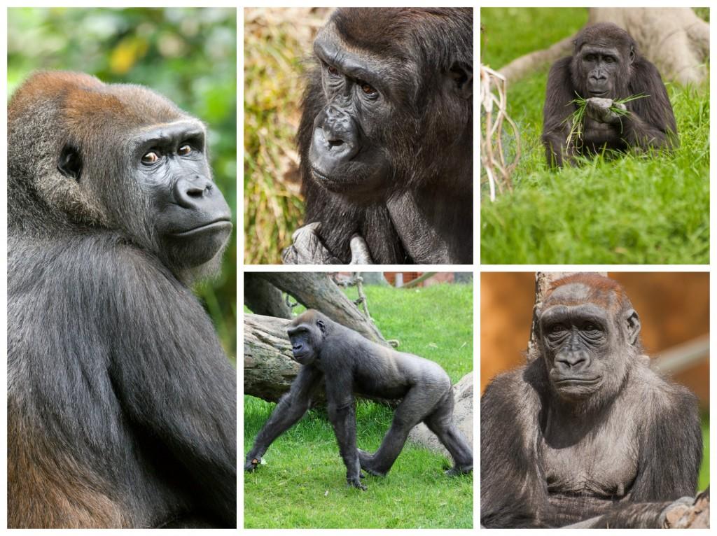 GorillasBTSCollage