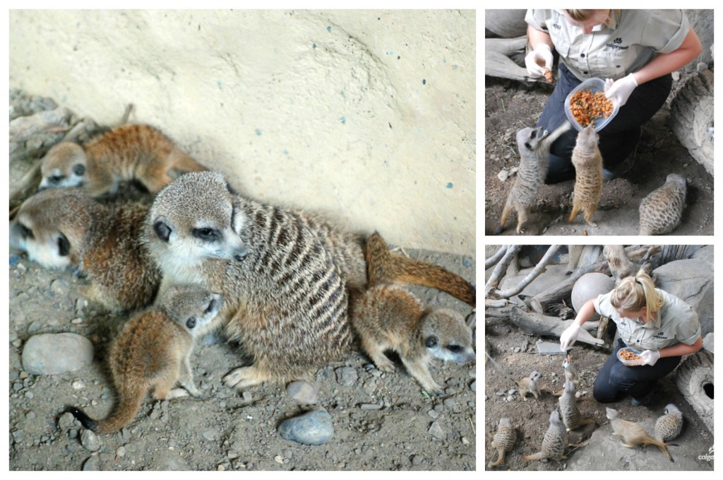 MeerkatFeedingCollage_0
