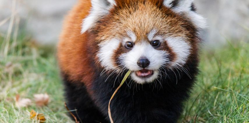 Smile for the camera! Newly named red panda cub Usha looks right into the lens.