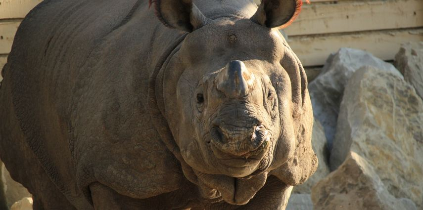 Sabari, the zoo's one-horned rhinoceros. Rhinos are solitary in nature, so Sabari has had free roam of his habitat.