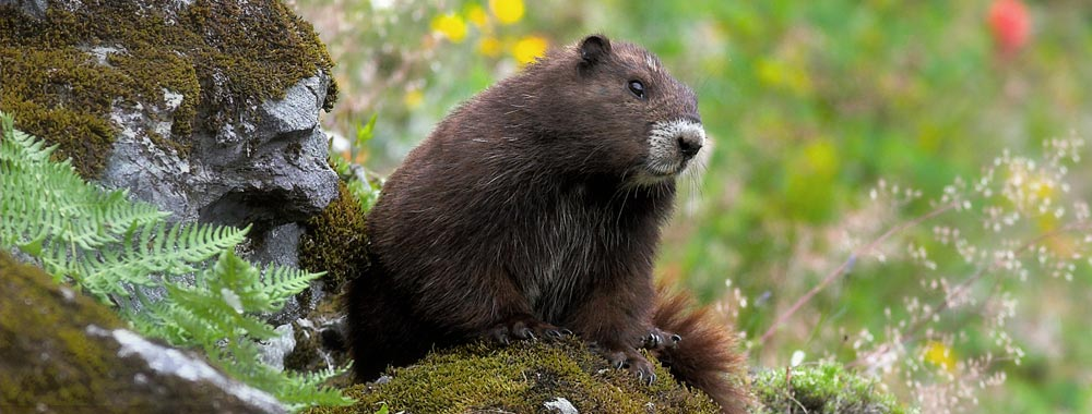 Why Is The Vancouver Island Marmot Important