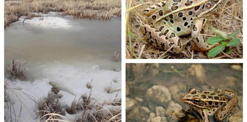 Northern leopard frogs are true Canadian conservation animals- they survive in Alberta during the winter!