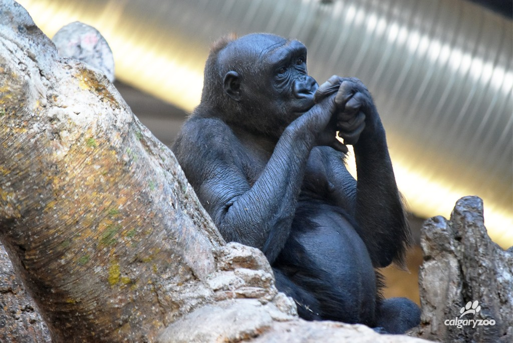 Future mom Kioja rests on a play structure in the gorilla enclosure.
