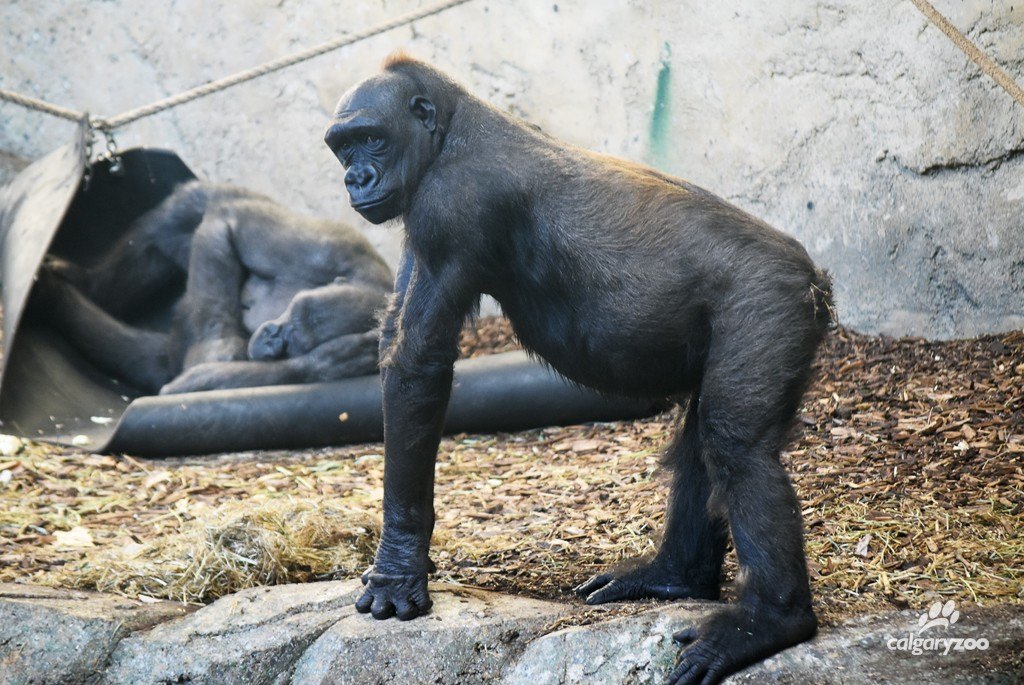 Kioja is starting to look visibly pregnant. Gorillas usually have a small potbelly, but this is no ordinary stomach!