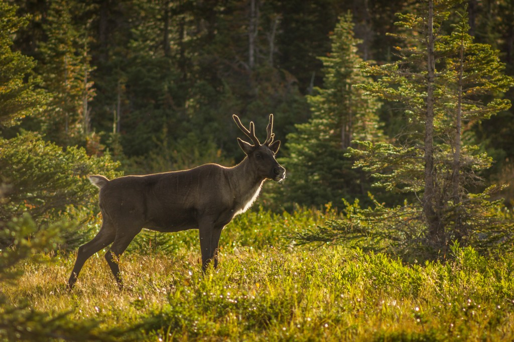 A caribou in Jasper National Park.