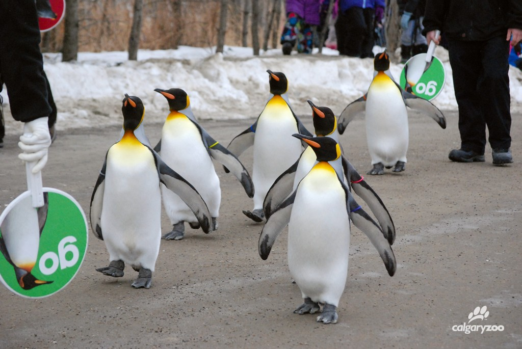 Penguin Walk 1 2015