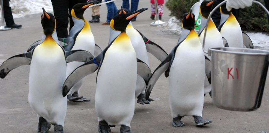 The king penguins go for their daily Penguin Walk in the winter months.