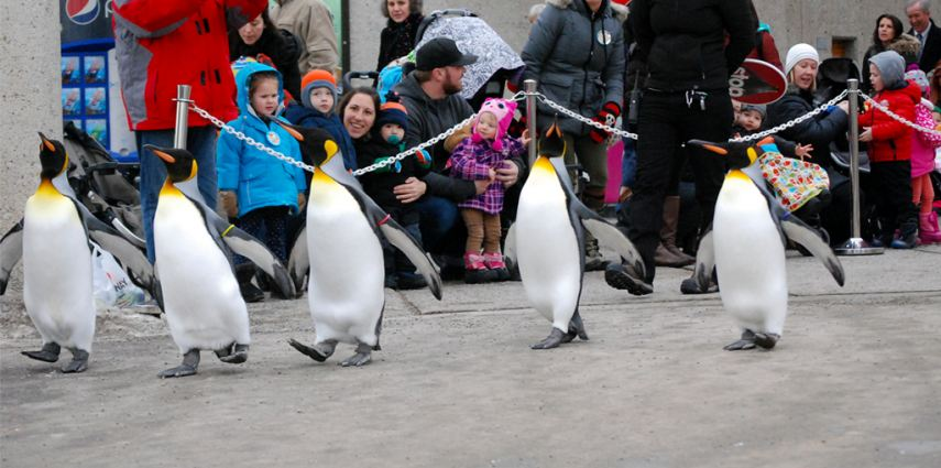 Our king penguins enjoy a daily walk once the weather is perfect penguin temperature.