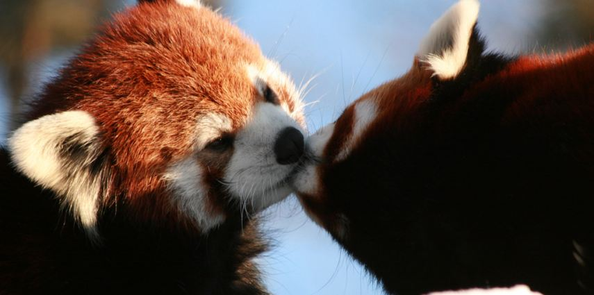 Two of our little red pandas   share a moment.