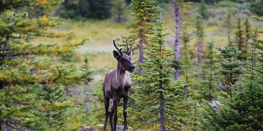Caribou in Canadian wilderness.
