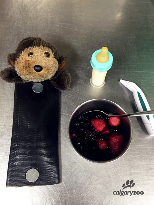 "Here are some of the tools that our keepers use to help Kioja prepare for her baby. ""Chuckie"" is our dummy baby that she has been taught to fetch, carry, and place on her chest. Also picture are some yummy berries, a standard bottle, and a thermometer which she is trained to use."