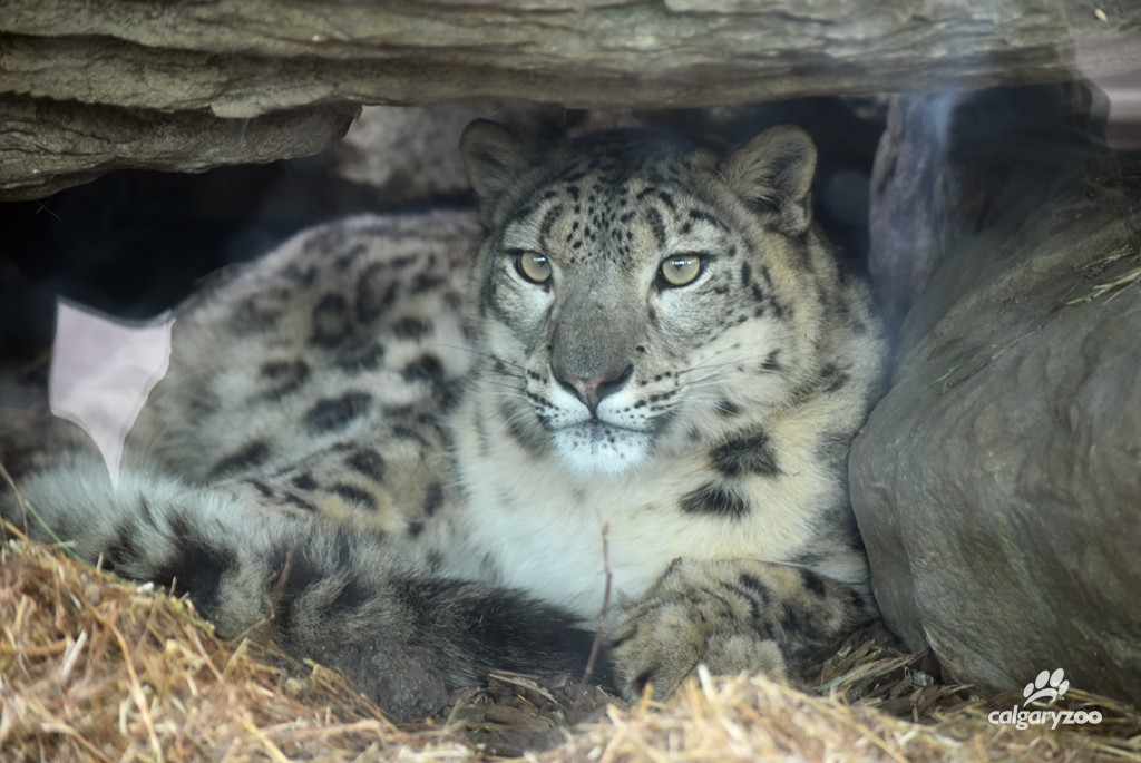 Leika our one-year old female snow leopard.