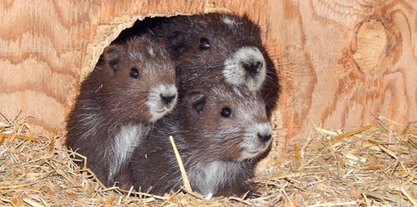 Vancouver Island marmot pups in 2015