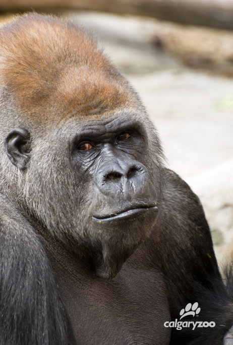 The zoo's silverback had a steely gaze, but had moments of tenderness and could be quite gentle.