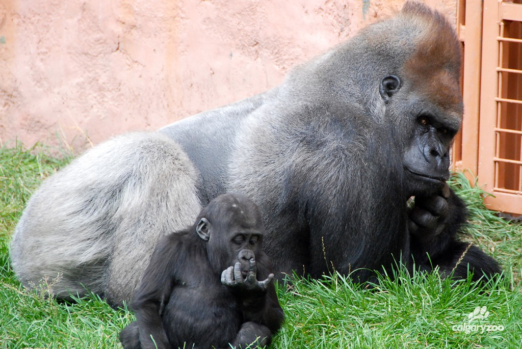 Gentle giant Kakinga has been a doting father- including with 2008 baby Yewande, pictured here.