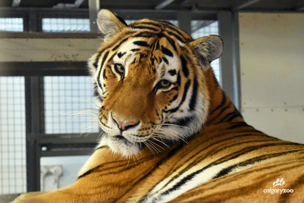 The zoo's youngest tiger, Kira, relaxing in one of the tiger building's indoor bedrooms.