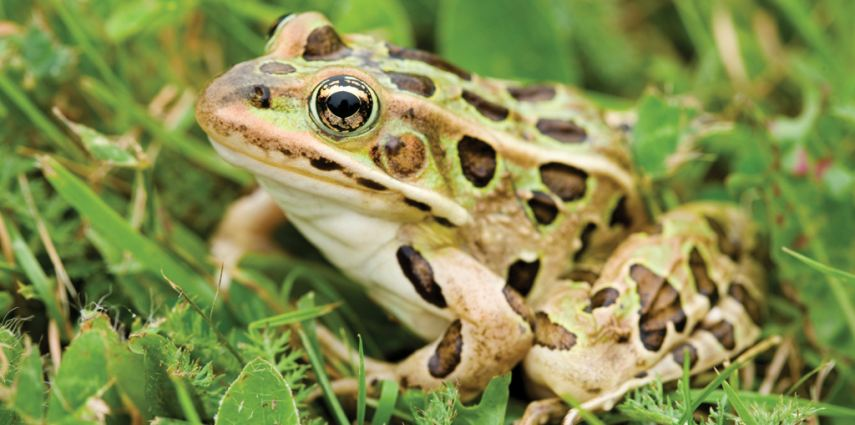 A northern leopard frog- one of the endangered frog species in Alberta.