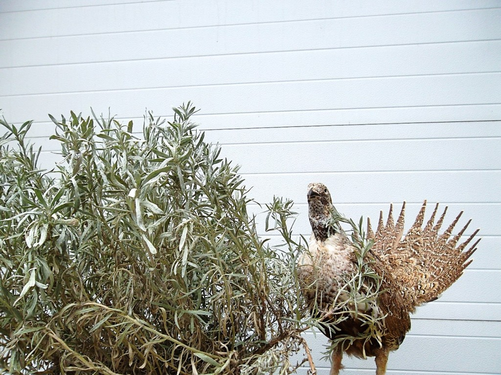 Our taxidermy male greater sage-grouse next to a live silver sagebrush.