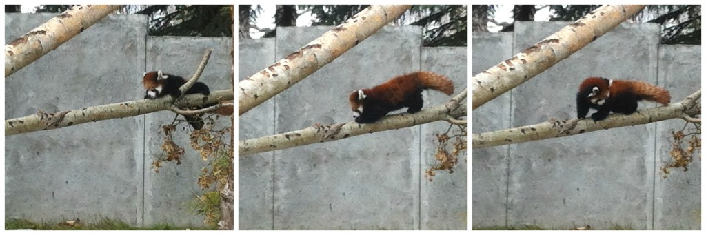 2015's red panda cub, Usha, was caught climbing for the first time on a zookeeper's phone.