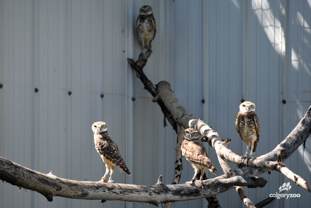 Burrowing Owls at the Calgary Zoo animal health centre.
