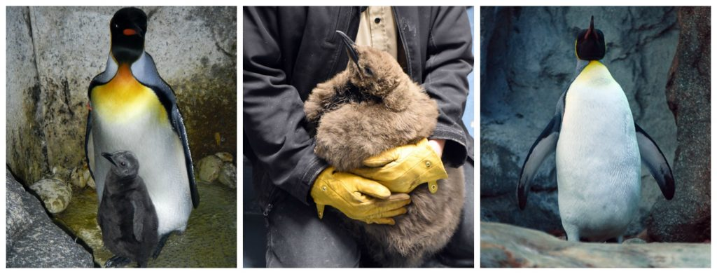 The king penguin chick from 2015 has all grown up! Nero has finally shed his adolescent fluff and is sporting a new grown up look.