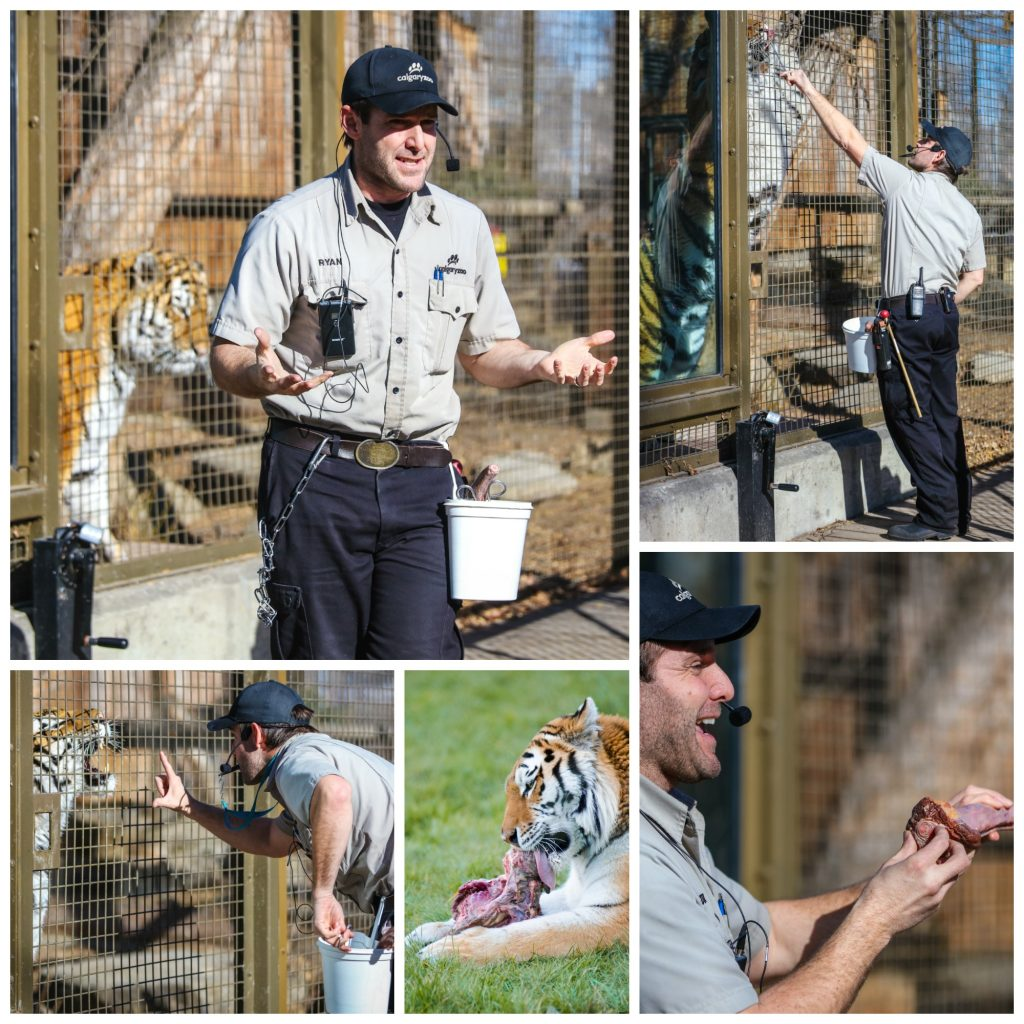 Tiger training is held at 11:30 a.m. each day in Eurasia. Our zookeeper will ask a tiger to follow basic commands used for daily health and wellness checks.