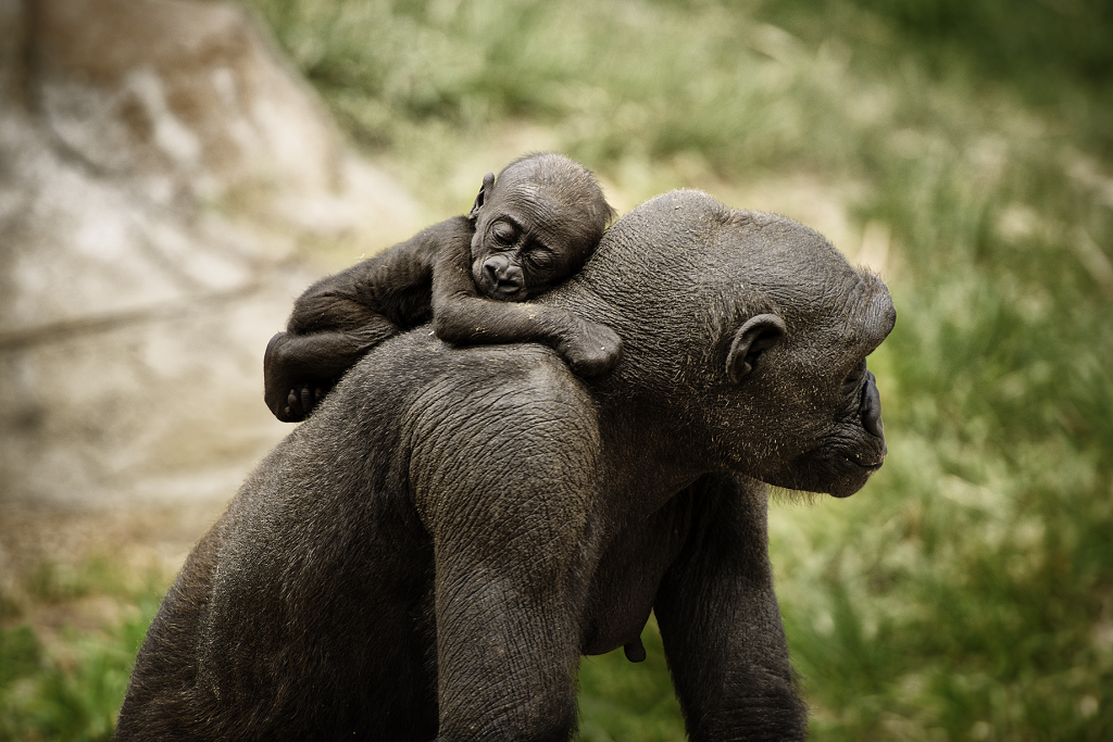 Kimani has started holding onto mom Kioja as she moves around the habitat.