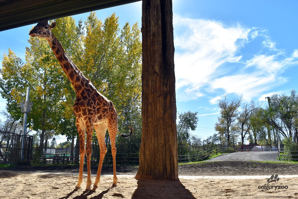 Emara arrived at the Calgary Zoo this past September as part of the SSP.