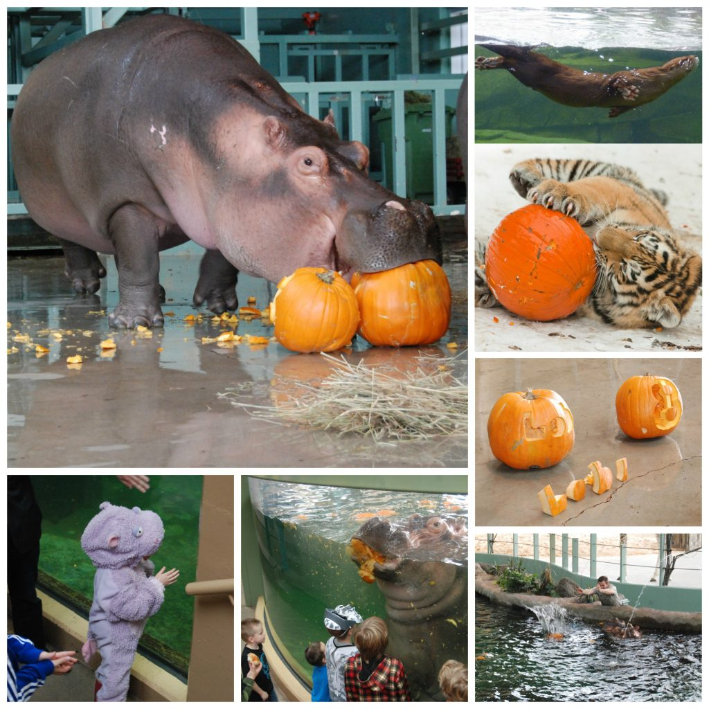 This year we're celebrating Lobi's birthday again- with Halloween themed enrichment for different zoo animals. Look a the fun from years past!
