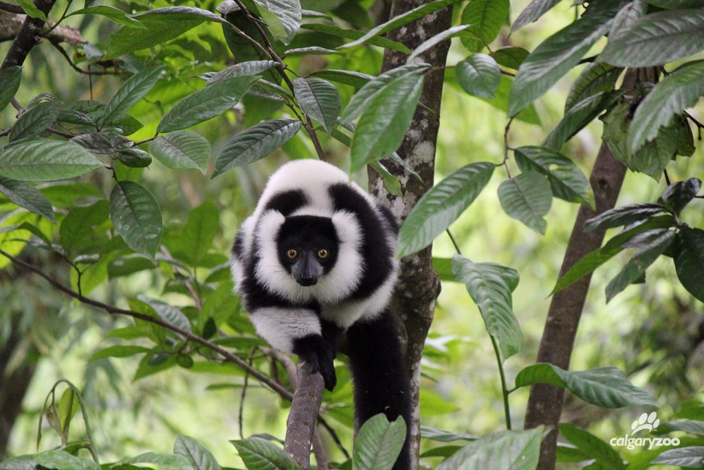 A black-and-white ruffed lemur in its natural habitat. Photo taken in the forests of Madagascar by partners of the Calgary Zoo.
