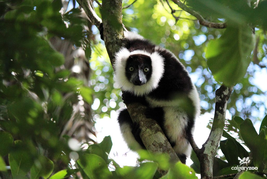 A white ruffed lemur in its natural habitat.