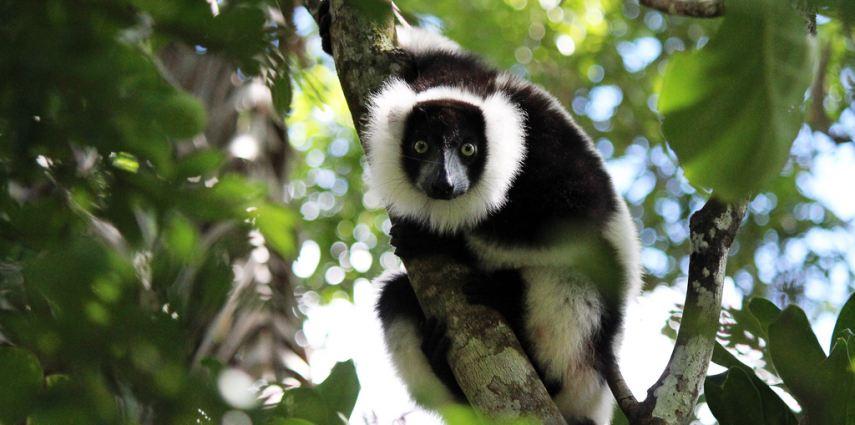 A white ruffed lemur in its natural habitat.