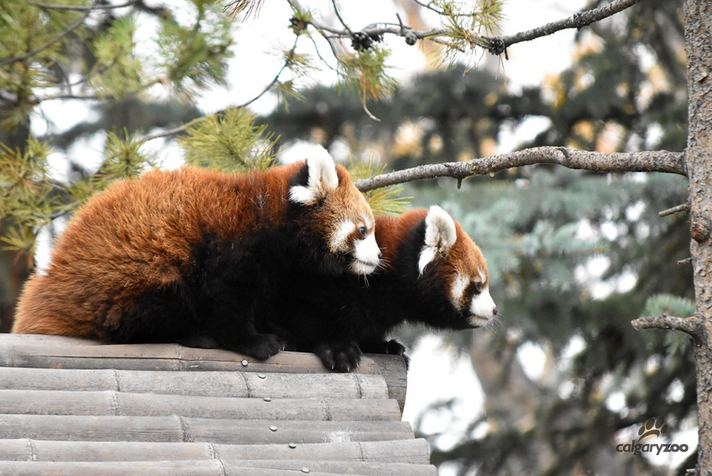 The two red panda cubs climb on the roof of their house for the first time.