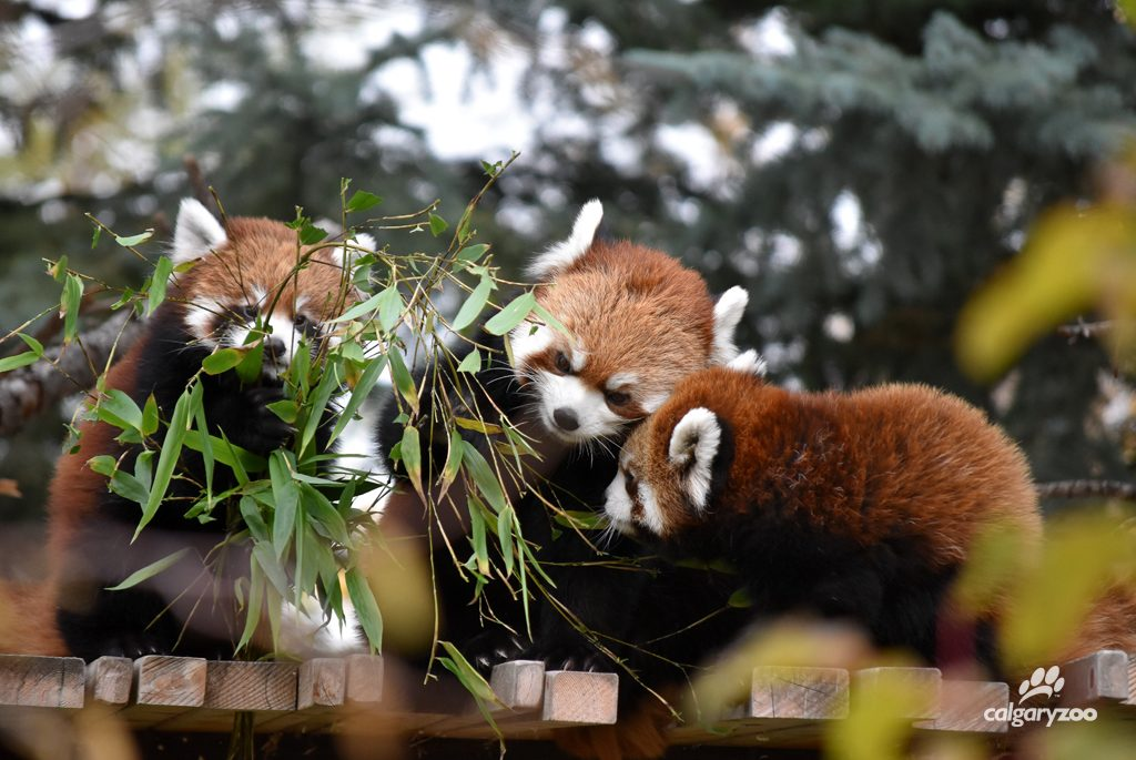 The boys are just starting to eat solid food, and watching mom Sakura (middle) is a great way to learn.