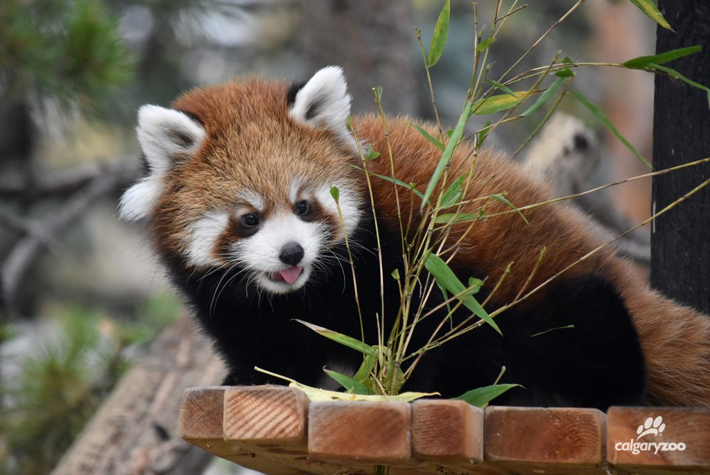 Red panda cubs are born a much lighter strawberry blonde colour, and grow into their famous red brown coats.