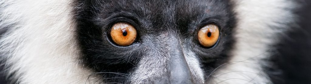 Close up! The distinctive stare of the black-and-white-ruffed lemur.
