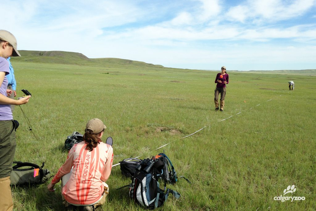 Conservation research team members measure the plots in which they are capturing the prairie dog data.
