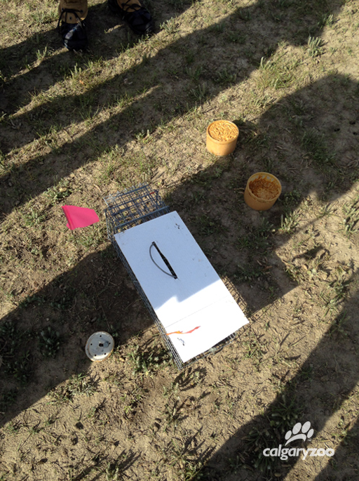 Safe traps for black-tailed prairie dogs set by the Conservation Research team.