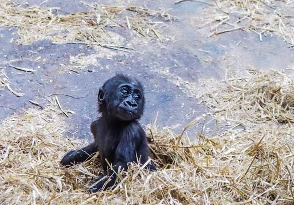 Our western lowland gorilla baby, Kimani, is almost one year old!