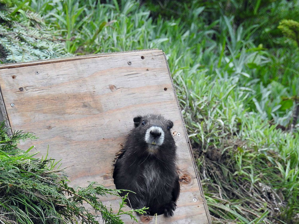 Vancouver Island Marmot release.