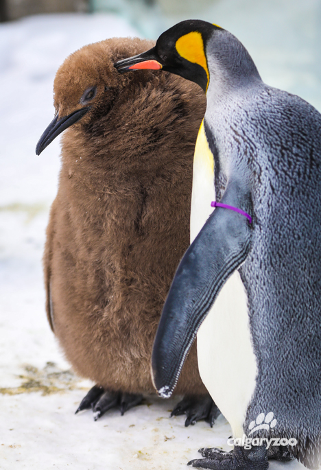 Last year's king penguin chick is all fluffy- just in time for winter, and to join in on the waddle of the walk!