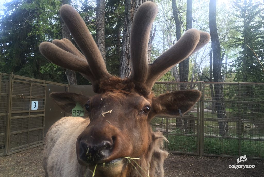 Nice work Napoleon! This elk now has developed longer, separate tines- and it's been just under two months!