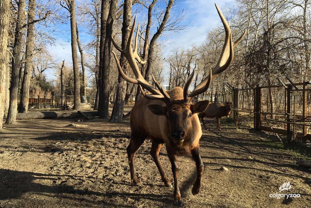 By Nov 28, Napoleon is sporting a gorgeous set of antlers, completely free of velvet. What a gorgeous boy!