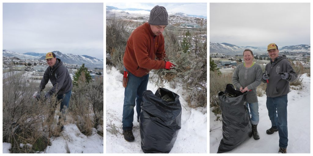 The team collected big sagebrush along with Kirsten Wourms, a naturalist for the city of Kamloops.
