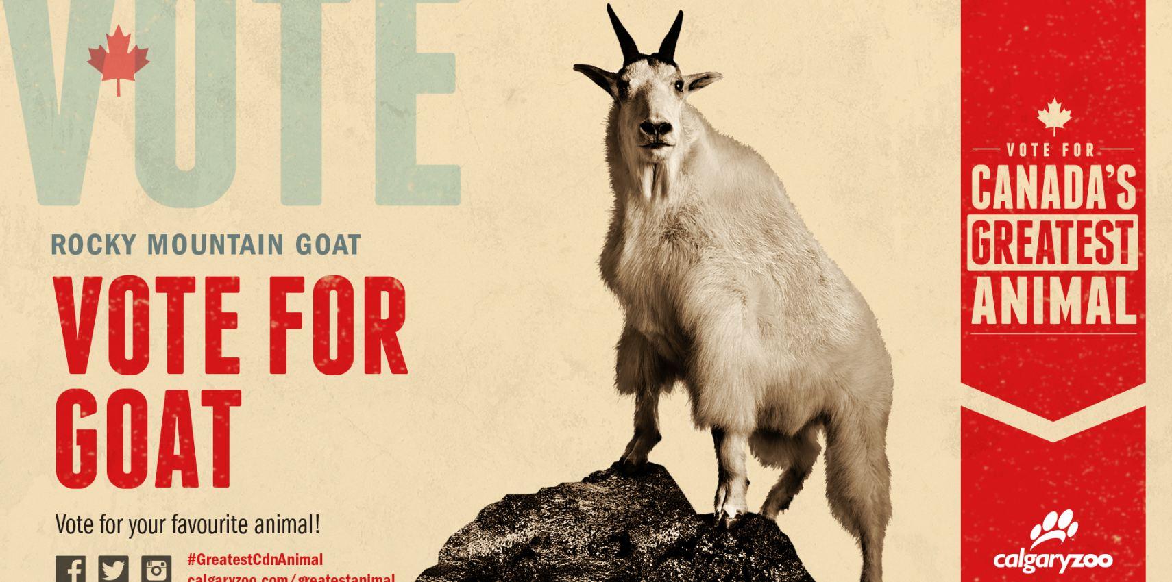 Rocky Mountain goat Archives - Calgary Zoo - Blog
