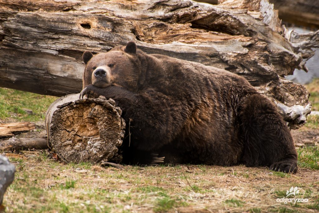 Skoki the grizzly bear reclines in his habitat.