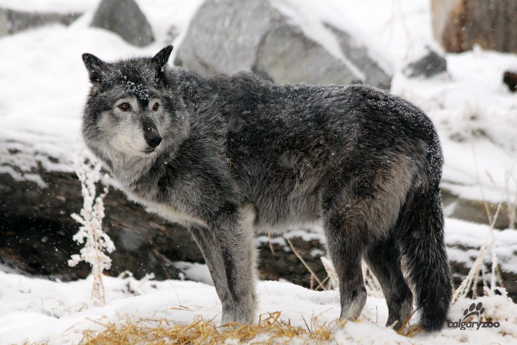 The grey wolf is at home in the Canadian winter weather.