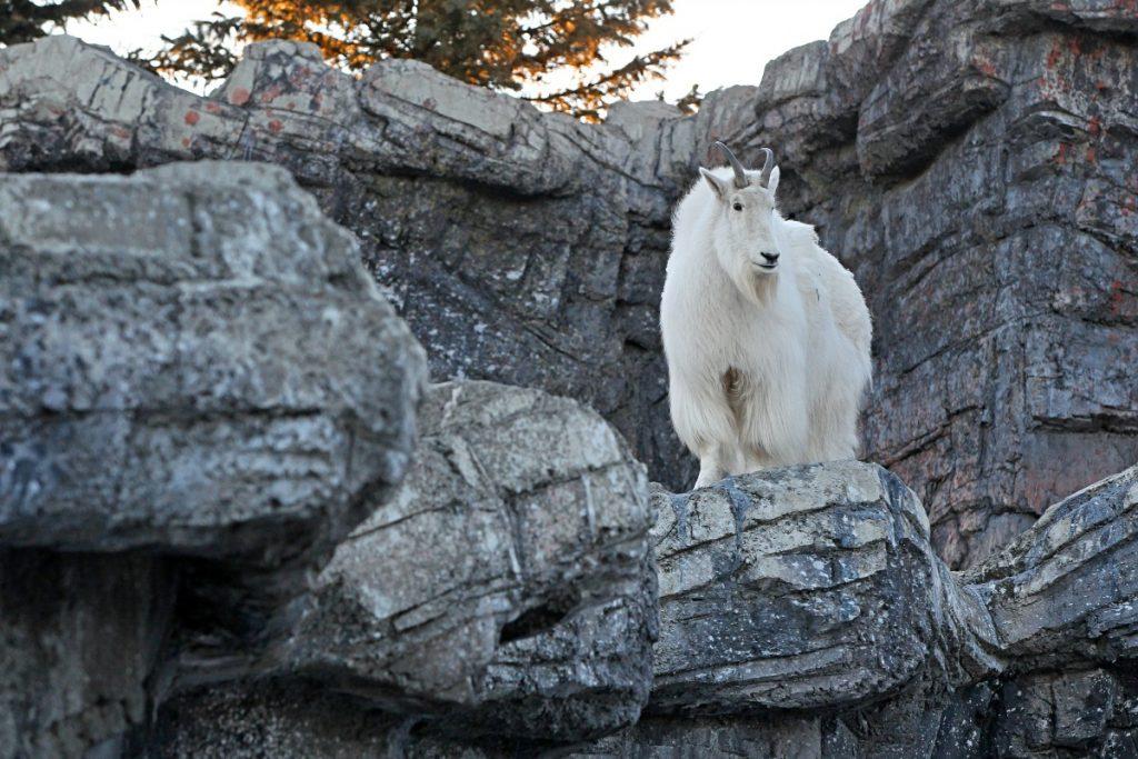Calgary Zoo Rocky Mountain Goat Credit: Sergei Belski