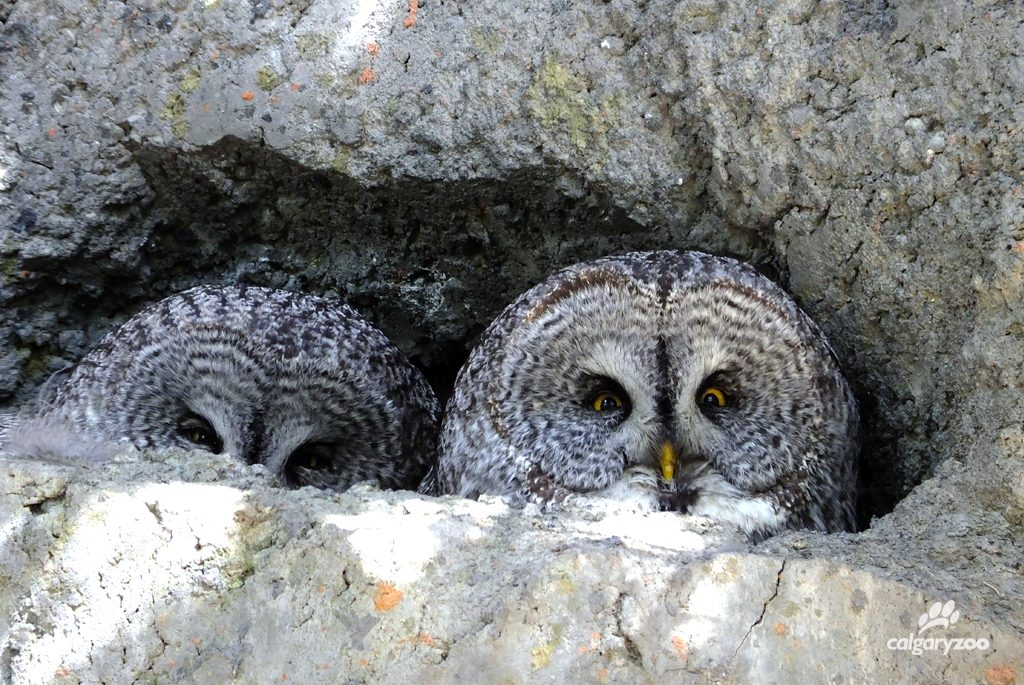 Look out- great grey owls have fantastic senses. A visit to the zoo's Jihad Shibley Rocky Mountain Aviary proves that these owls don't miss a beat.